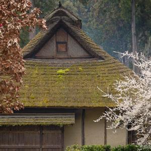 梅咲く、釜の淵公園。古民家の旧宮崎家には、豪華ひな壇も。