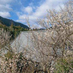 梅咲く山里、奥多摩町・寸庭地区を訪ねる、小旅