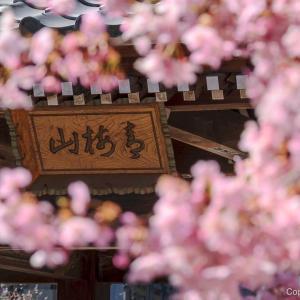 山号は「青梅山」、青梅由来の寺・金剛寺で、花を愛でる