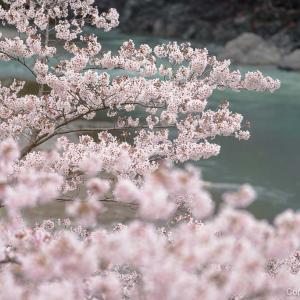 清流と桜のコラボレーション、釜の淵公園の桜!