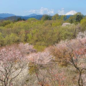 桜と富士の六道山と、カタクリの里、瑞穂町花巡りの小旅