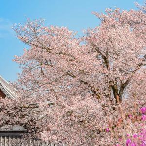 知る人ぞ知る、桜の名所?青梅・宗泉寺は春爛漫!