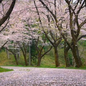 青梅・霞丘陵は、桜の花道!お手軽トレッキングで、春を満喫!
