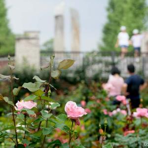 そうだ、バラ園に行こう!あきる野・秋留台公園で春バラを愛でる