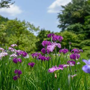 「秘密の花園」青梅・杣保花しょうぶ園の 、訳あって「不親切ガイド」
