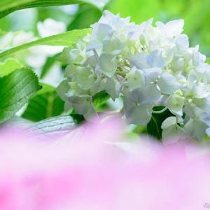 裏山に花咲かせる、あきる野市・南沢あじさい山