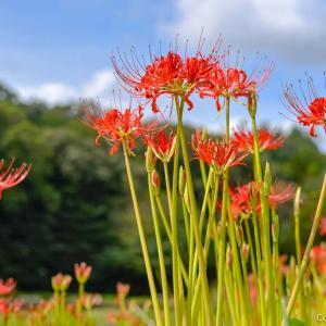 菖蒲の名所は、彼岸花の名所?青梅・吹上しょうぶ園の秋