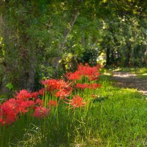 多摩川沿いの参道に彼岸花、羽村の武蔵阿蘇神社へ
