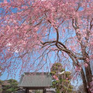 青梅・金剛寺、美人姉妹のしだれ桜で、春を満喫!