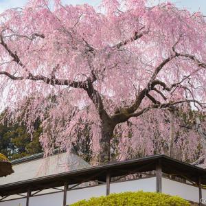知る人ぞ知る、名所?青梅・安楽寺のしだれ桜