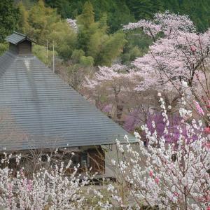 山里まるごと花!あきる野・乙津・龍珠院の桜