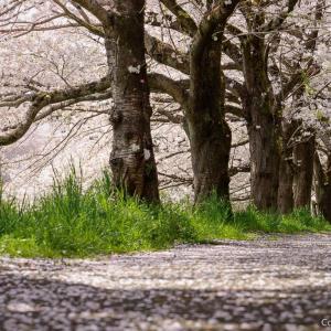 福生・多摩川堤防から塩田耕地堤へ、桜を巡るトレッキング