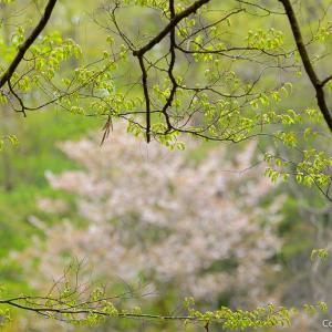 カタクリ咲く天祖神社から大荷田へ、青梅の知られざる里山を歩く