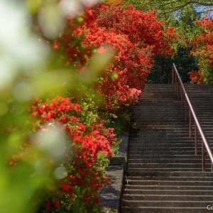 ツツジの花道は出世階段、青梅・愛宕神社に、春色を訪ねて