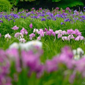 青梅・吹上しょうぶ公園は、里山の源流の花園