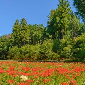 吹上しょうぶ公園から、塩船観音寺・霞丘陵自然公園へ、彼岸花の名所を結ぶ旅