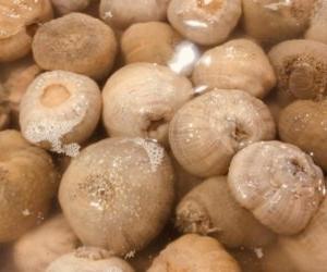 ワケノシンノスとは究極の珍味!名前の意味がやばい食用イソギンチャク。