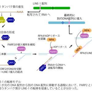 mRNAワクチンのRNAが細胞のDNAに組み込まれる可能性