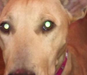 しわしわーずの母犬くるみのお預かりさん、緊急募集しています!