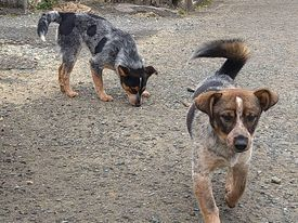 新規・若い姉妹犬2頭&以前から募集しているプロットの男の子の里親さん、お預かりさん募集しています!!