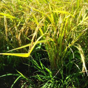 農作業日誌 お米ができるまで 30 稲刈り2