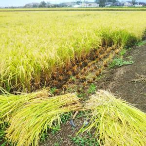 農作業日誌 お米ができるまで 32 出荷準備と稲刈り続く