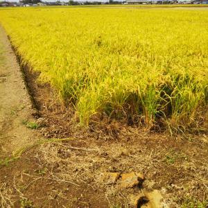 農作業日誌 お米ができるまで 34 稲刈りはまだまだ続きます&美味いもの コラボ