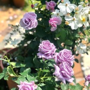 変わった紫陽花をお迎えしました♫と昨日のバラ達🌹