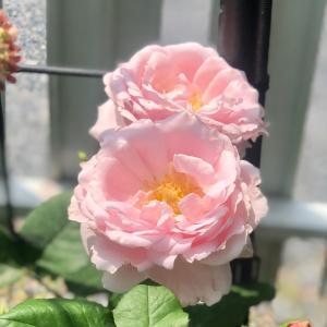 33度の中でバラの花殻摘み♫