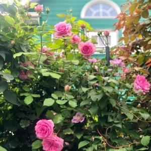 ピエールの2番花とポンパドゥールの2番花の違い(*´∇`*)