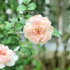 滴を纏ったバラ達♡と雨の中の薬剤散布( ;  ; )