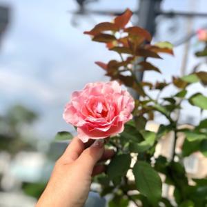 男の人はオレンジのバラが好き?と、樹形の綺麗な『万葉』♡