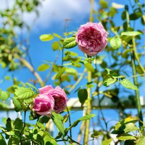 またやられた〜(T . T)と咲きそうで咲かない秋バラ♡