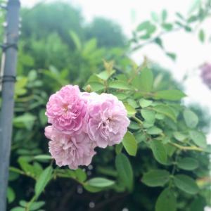 黒星病蔓延ガーデン(/ _ ; )と食欲の秋と、フランネルフラワー&ミラージェルネイル ♡