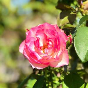 お花屋さんとホムセンのハシゴ♫とストロベリーアイスの秋バラ♡