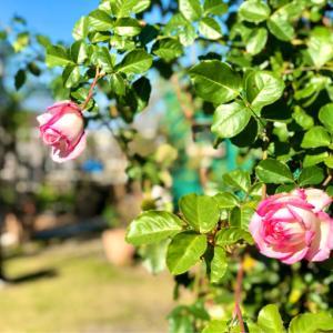 ジョイ本でお迎えの花苗で寄せ植え作りました(^∇^)