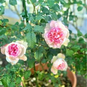 麗しく咲いたソワイユ♡と、ボーリングの季節ですね(T . T)