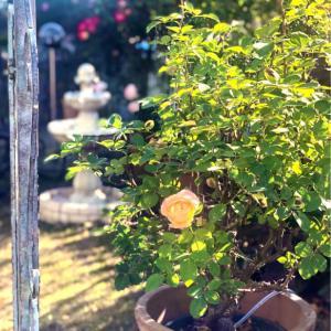 誘引前の最後の輝きのバラ達♡と、小鳥レストラン開業♫
