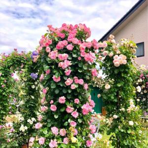 つるバラの誘引♡ストロベリーアイス♫と、お花好き同士って♡
