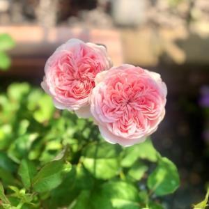 バラの用土替え♡旋律、しらたま、カルトナージュ♫