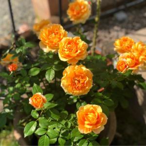 バラの用土替え♡万葉と、春を待つお花達♫