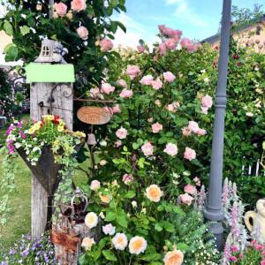 つるバラの誘引♡〝ダフネ〟と、夏越しプリムラジュリアン達♫