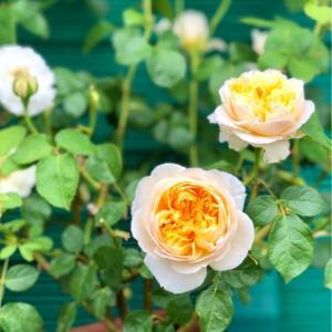 バラの用土替え♡〝シャーロットオースチン〟〝カラーオブジュピター〟と人懐こいメジロさん♫