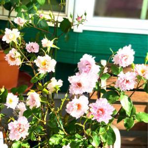 バラの用土替え♡クチュールローズチリアと、バラの寒肥と用土替えも終わった〜♫