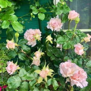 バラの用土替え♫ラマリエと、春の準備のお花達♡