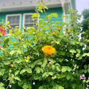グラハムトーマス、カフェラテ、マチルダが咲きました♡