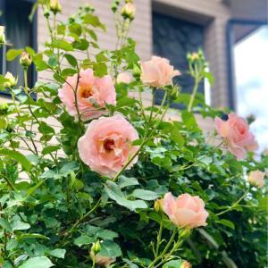 ロココが止まらない♡と咲き進んだバラ達♫