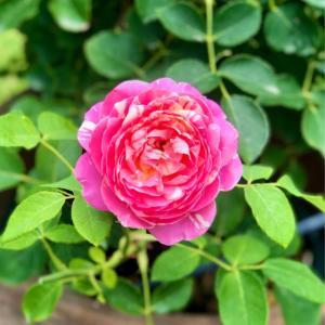 ホムセンにいた捨て猫(;_;)と、我が家の小花のバラの比較♡