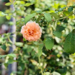 女3代でお買い物♫と、青空のバラ♡と、クレマチスの2番花♫
