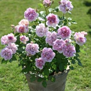 枝変わりのように咲いたバラ♡と、今年の摘蕾はツラいです(T . T)